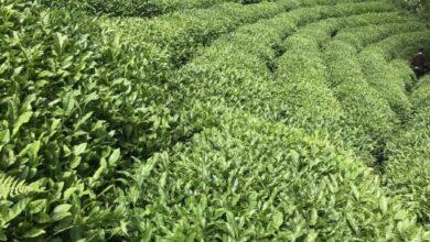 Türkiyeden 110 ülkeye çay ihraç edildi